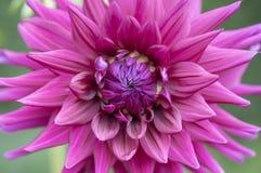 Uppveckling av den purpurfärgade dahliablomman Royaltyfria Bilder