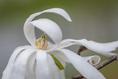 Uppveckling för blomma för stjärnamagnolia arkivfoto