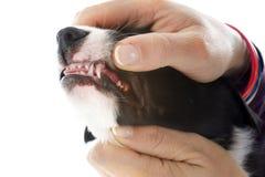 Uppvisning av tänderna royaltyfria bilder