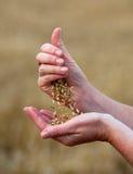 upraw jęczmienne ręki Fotografia Stock