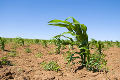 upraw kukurydziane young fotografia stock
