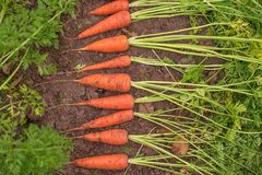 Uprawa marchewki w ogródzie Obraz Royalty Free