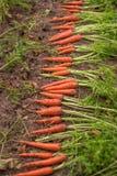 Uprawa marchewki w ogródzie Zdjęcia Stock