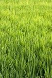uprawa ryż zdjęcie royalty free