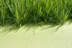 uprawa ryż obraz royalty free