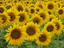 uprawa słonecznik Obraz Royalty Free