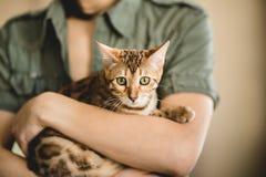 Uprawa widok przy anonimową kobietą trzyma pięknego Bengal kota patrzeje kamerę w studiu Fotografia Stock