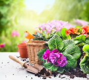 Uprawiać ogródek ustawiam na stole z kwiatami, garnki, puszkujący ziemię i rośliny na pogodnym ogródzie Zdjęcie Stock