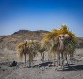 Uprawiać ziemię wielbłądy blisko Djibouti Fotografia Stock