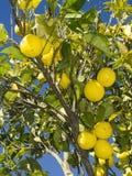 uprawia ogródek cytryny drzewa fotografia stock