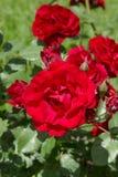 uprawia ogródek czerwone róże Zdjęcia Stock