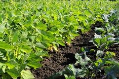 uprawia ogródek warzywa Obraz Royalty Free