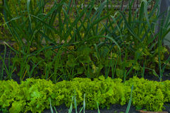 Uprawia ogródek z zieloną sałatką, czosnkiem i beetroot, Obrazy Stock