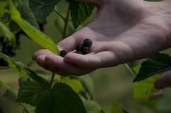 Uprawia? ogr?dek Man& x27; s ręka zbiera blackcurrant jagody od zielonego krzaka obrazy stock