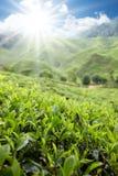 uprawia ziemię herbaty Obrazy Stock