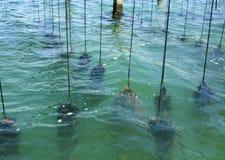 Uprawia ziemię na kultywaci mussels w Śródziemnomorskim Obraz Stock