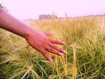 Uprawia ziemię ryż zdjęcia stock
