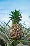 uprawia ziemię ananasa Zdjęcia Royalty Free