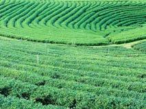 uprawia ziemię zielonej herbaty Obraz Stock