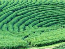 uprawia ziemię zielonej herbaty Zdjęcie Royalty Free