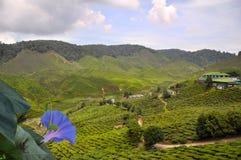 uprawia ziemię zielonej herbaty Zdjęcia Stock