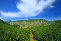 uprawia ziemię zielonej herbaty Obraz Royalty Free