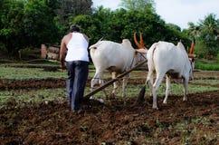 Uprawiający ziemię pole z wołami i Przeorzący zdjęcie stock