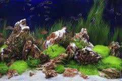 Uprawiany Słodkowodny akwarium Zdjęcia Royalty Free