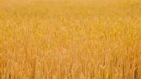 Uprawy żniwa żyta pszenicznego pola złoty drobny chodzenie zdjęcie wideo