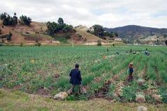 uprawy cebula Zdjęcie Stock