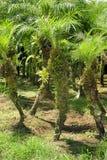 Uprawy f drzewko palmowe r w Grecia, Costa Rica zdjęcia stock