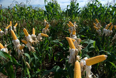 uprawy kukurydza Obrazy Royalty Free