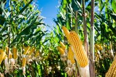 uprawy kukurydza Fotografia Royalty Free