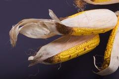 uprawy kukurydzy jesienią Fotografia Royalty Free