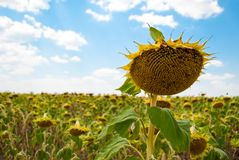 Uprawy pole słoneczników słonecznikowych ziaren dojrzały niebieskie niebo z chmura letnim dniem Obrazy Stock