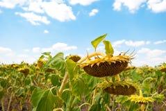 Uprawy pole słoneczników słonecznikowych ziaren dojrzały niebieskie niebo z chmura letnim dniem Obraz Royalty Free