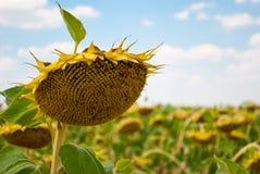Uprawy pole słoneczników słonecznikowych ziaren dojrzały niebieskie niebo z chmura letnim dniem Zdjęcie Stock