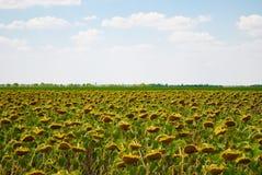 Uprawy pole słoneczników słonecznikowych ziaren dojrzały niebieskie niebo z chmura letnim dniem Obraz Stock