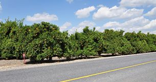 uprawy pomarańcze Obraz Stock