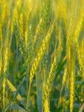 uprawy pszenicy Obraz Royalty Free
