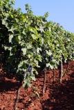 uprawy winorośli Zdjęcia Royalty Free