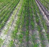 uprawy zima Zdjęcia Stock