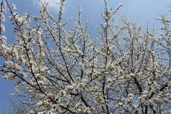 Upright branches of Prunus cerasifera with flowers against blue sky. Upright branches of Prunus cerasifera with white flowers against blue sky royalty free stock images