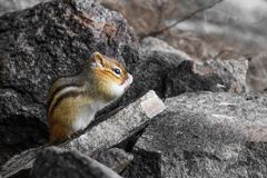 Cute squirrel with paws in front of mouth. Upright chipmunk on a rock with paws in front of mouth stock photos