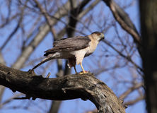Upright Cooper's Hawk Stock Photography