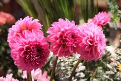 Upright Dahlia blooms in pink. Florist specials Dahlia blooms Stock Photo