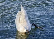 Upright diving swan Royalty Free Stock Image