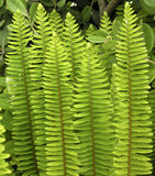Upright fern Stock Photo