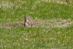 Upright Ground Squirrel Royalty Free Stock Photography