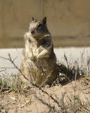 Upright Ground Squirrel Royalty Free Stock Photo